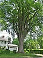 Grayson Elm Tree in Amherst, MA - August 2017.jpg