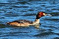 Great Crested Grebe - Rutland Water (17213436821).jpg