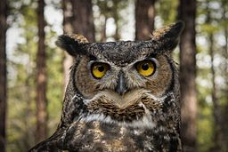 Great Horned Owl in Oregon