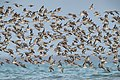 Great Knot 1 - Lee Point.jpg