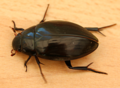 Great Silver Beetle - hydrophilus piceus (41213667694).png