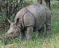 Greater one-horned rhino (2917681668).jpg