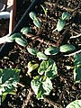 Green Beans (6269499258).jpg