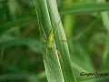 Green Lynx Spider, South Carolina.jpg