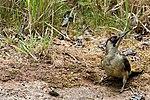 Green Woodpecker - RSPB Sandy (35812882796).jpg