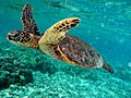 Green turtle swimming in Kona May 2010.jpg