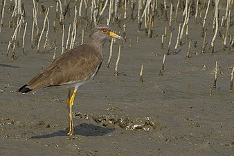 Grey-headed Lapwing Godkhali West Bengal 17.12.2014.jpg
