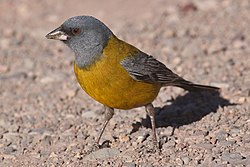 Grey-hooded sierra finch.JPG