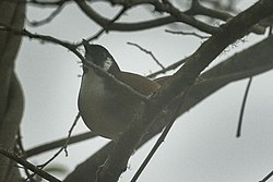 Grey-sided Laughingthrush - Eaglenest - Arunachal Pradesh -- India FJ0A1067 (33521162404).jpg