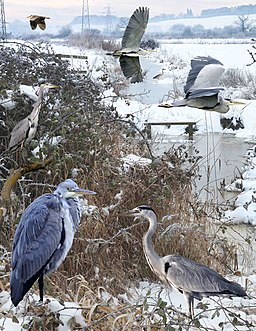 Grey Heron from the Crossley ID Guide Britain and Ireland