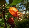 Greyia flanaganii, blom, Manie van der Schijff BT, a.jpg