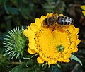Grindelia squarrosa 2015-07-15 4483.jpg