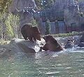 Grizzly cubs memphis zoo playing.jpg