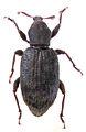 Gromilus insularis insularis female.jpg