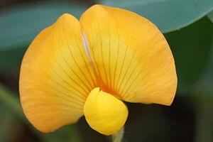 Peanut - Peanut flower