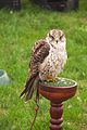 Gry x Saker Falcon, Cheshire Game and Country Fair 2014 1.jpg