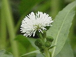 Gymnocoronis spilanthoides0