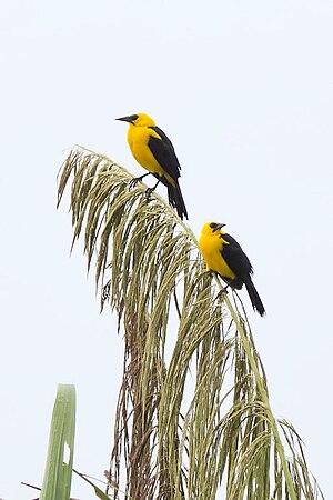 Oriole blackbird - In Peru