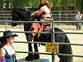 Gypsy Vanner horse at Norcal Ren Faire 2010-09-19 1.JPG