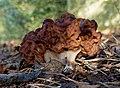 Gyromitra esculenta (26718909917).jpg