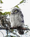 Hökuggla Northern Hawk Owl (20163933699).jpg