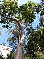 HK CWB 銅鑼灣 Causeway Bay 維多利亞公園 Victoria Park tree trunk n green leaves December 2019 SSG 27.jpg
