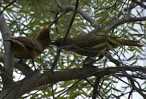 Cacholote - Pseudoseisura lophotes