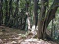 Hainbuchenniederwald.jpg
