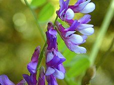 Hairy Vetch, Vicia villosa.jpg