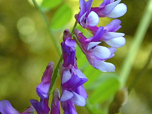 Vicia villosa - Hairy vetch (Vicia villosa), Monte Bello Open Space Preserve, California