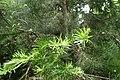 Halocarpus kirkii kz5.jpg