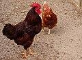 Hane og høne - panoramio.jpg