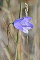 Harebell (Campanula rotundifolia) - Killarney, Ontario.jpg
