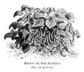 Haricot du Bon Jardinier Vilmorin-Andrieux 1904.png