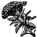 Hariduse sõnaraamat Celosia cristata.png