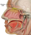 Head olfactory nerve - olfactory bulb en.png