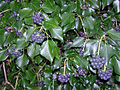 Hedera hibernica with berries.JPG