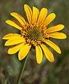 Helianthella californica1.jpg