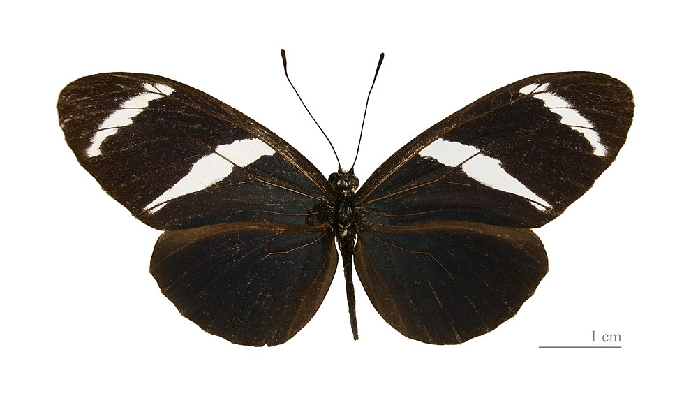 English:  Heliconius antiochus - Dorsal side