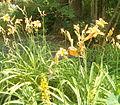 Hemerocallis fulva BotGardBln07122011B.jpg
