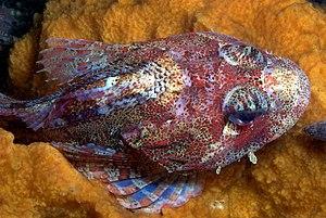 Cottidae - Hemilepidotus hemilepidotus