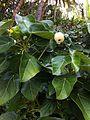 Hernandia nymphaeifolia fruits Beqa Fiji 1.jpg