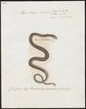 Herpetodryas cursor - 1700-1880 - Print - Iconographia Zoologica - Special Collections University of Amsterdam - UBA01 IZ12100107.tif