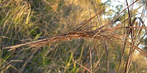 Heteropogon contortus - Image: Heteropogon contortus seedhead