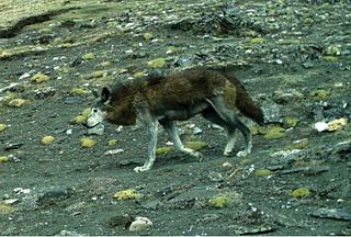 Himalayan wolf Subspecies of mammal