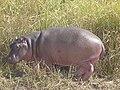 Hippopotame a la Pendjari.jpg