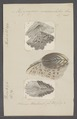 Hippopus maculatus - - Print - Iconographia Zoologica - Special Collections University of Amsterdam - UBAINV0274 077 05 0003.tif
