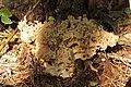 Hohe Mark 17.09.2017 Cauliflower Fungus - Sparassis crispa (23832077578).jpg