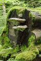 Hoher Vogelsberg Taufstein Fomes cut tree.png