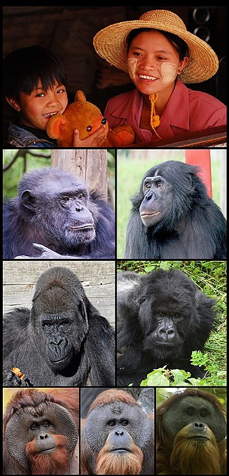 Hominidae - The eight extant hominid species, one row per genus